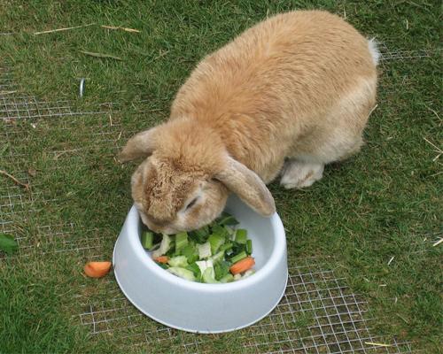 Image result for pregnant rabbit nutrition
