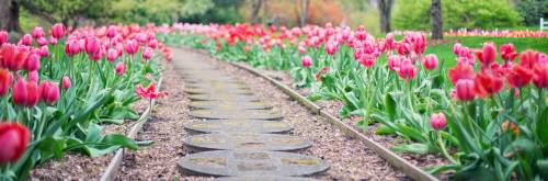 pink tulips in stone path
