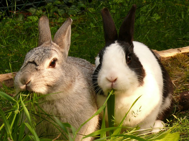 Rabbits Eating Grass