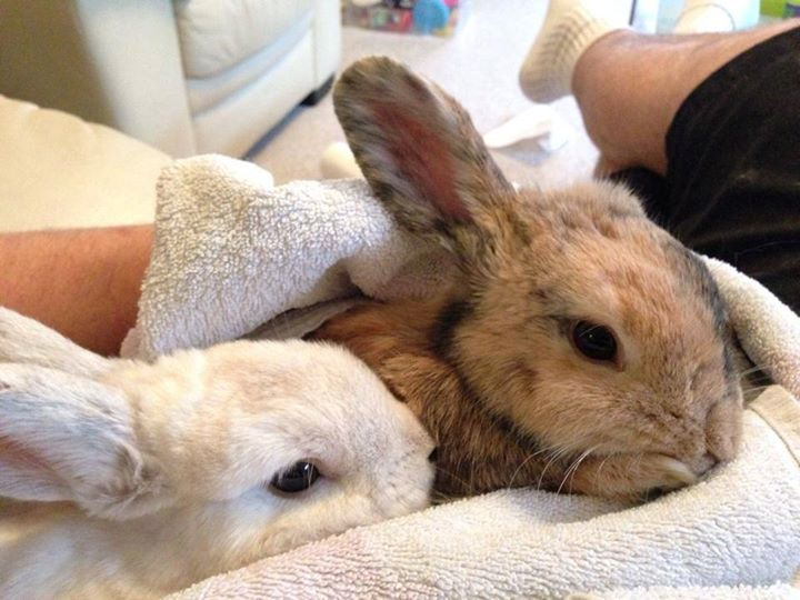 Pair of Bonded Rabbits